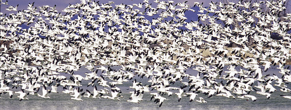 Large flock of snow geese near Delta, Utah