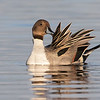 Male Pintail