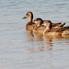 Blue-winged Teal (10)