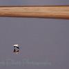 American White Pelican (17)