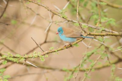 Blue-cheeked Cordon-bleu - Lake Manyara National Park, Tanzania