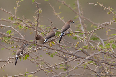 Indian Silverbill - Kutch, Gujrat, India