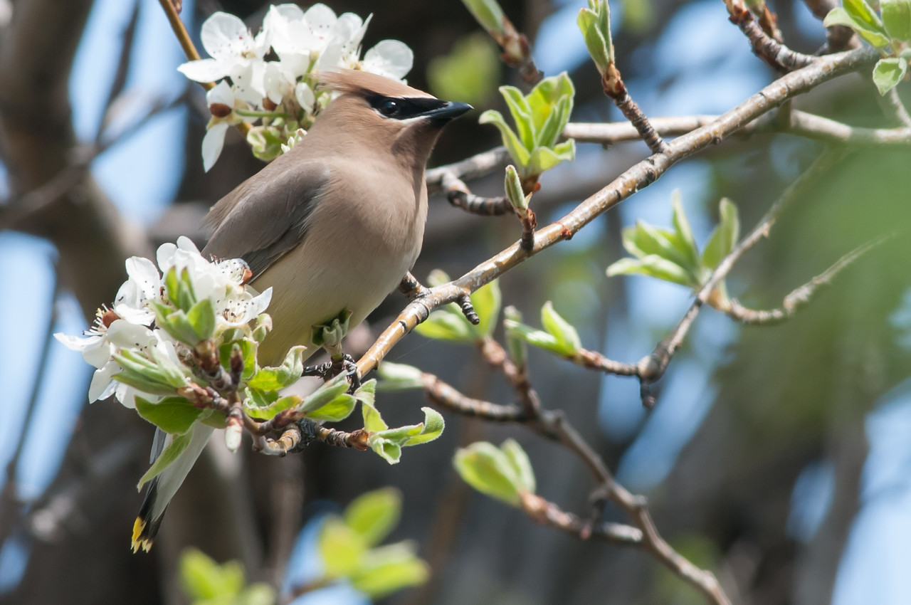Cedar Waxwing eating Pear blossom petals in an old homestead.