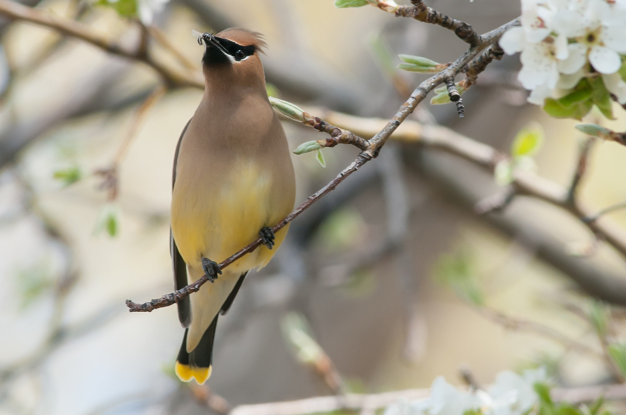 Cedar Waxwing enjoying an insect.