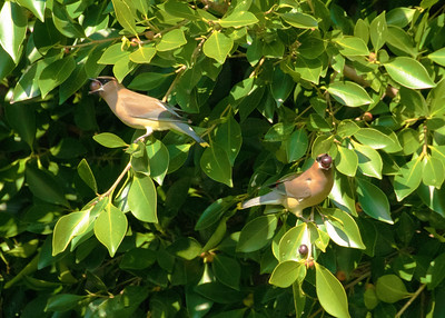 Cedar Waxwings feeding on berries