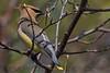 Cedar Waxwimg (b2943)