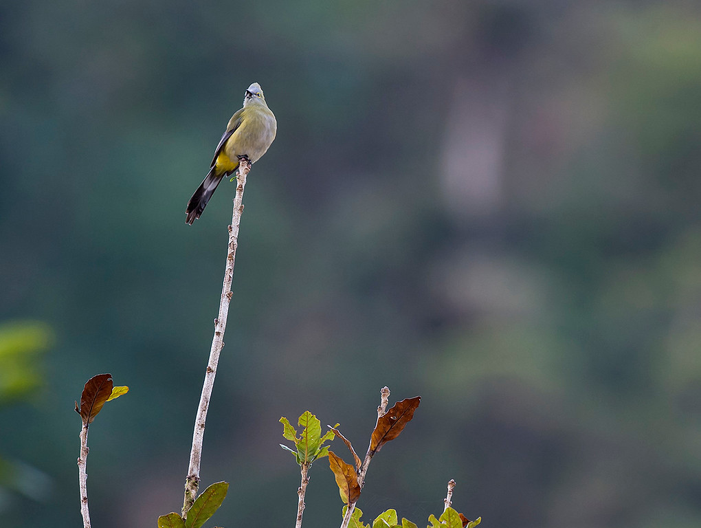 Long tailed silky flycatcher