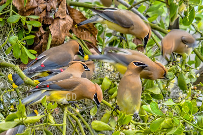 Waxwing Feeding Frenzy