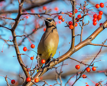 Cedar Waxwing in Crab Apple Tree