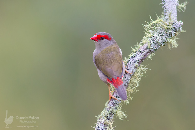 Red-browed Finch