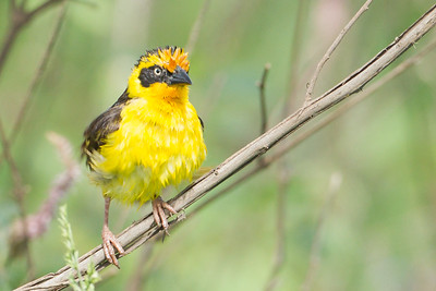 Baghlafecht Weaver - Lake Nakuru National Park, Kenya