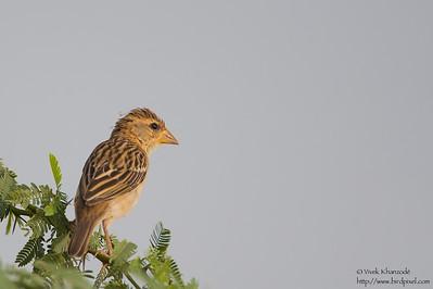 Baya Weaver - Female - Kutch, Gujrat, India