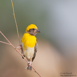 Baya Weaver - Male - Kutch, Gujrat, India