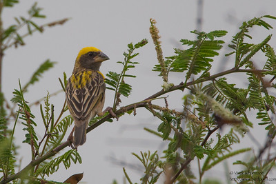 Baya Weaver - Male -  Nagpur, India