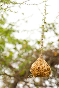 Weaver Nest - which weaver? - Lake Manyara National Park, Tanzania