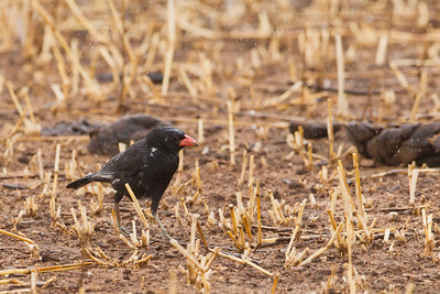 Red-billed Buffalo Weaver - Tarangire National Park, Tanzania
