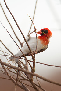 Red-headed Weaver - Tarangire Naional Park, Tanzania