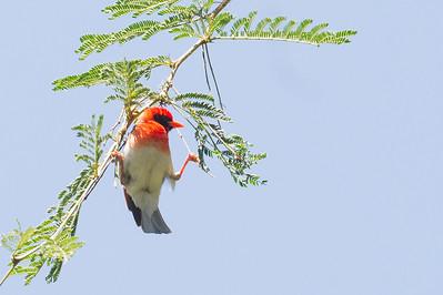 Red-headed Weaver - Lake Nakuru Naional Park, Kenya