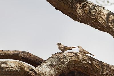 Rufous-tailed Weaver - Tarangire National Park, Tanzania