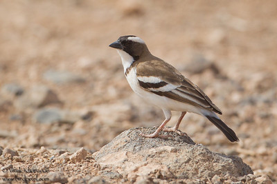 White-browed Sparrow Weaver - Amboseli National Park, Kenya