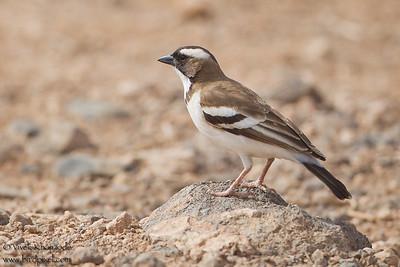 White-browed Sparrow Weaver - Amboseli National Park, Kenya