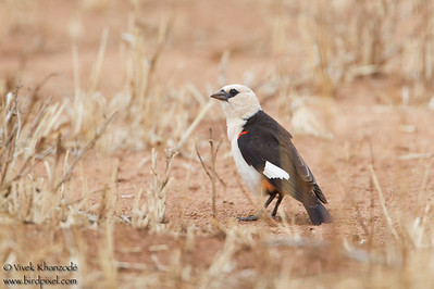 White-headed Buffalo-Weaver - Record - Tarangire National Park, Tanzania