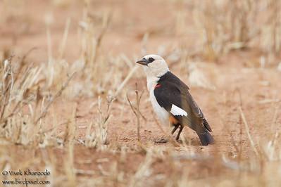 White-headed Buffalo-Weaver - Record - Tarangire National Park, Tanzania