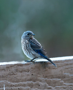 Western Bluebird, male juvenile, 22-Jul-2013