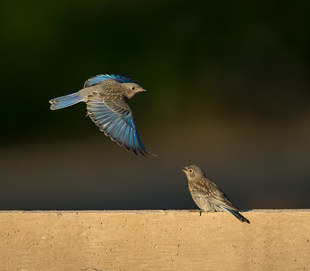 Western Bluebird juveniles, 25-July-2013