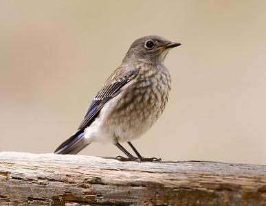 Western Bluebird, female