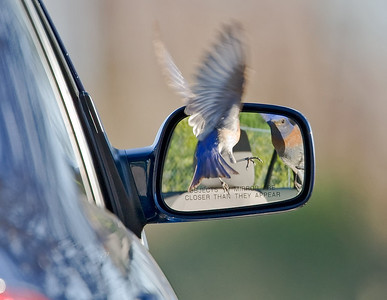 Bluebird still looking in mirror