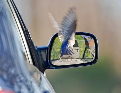 Bluebird still looking in mirror
