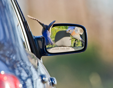 Bluebird looking in mirror