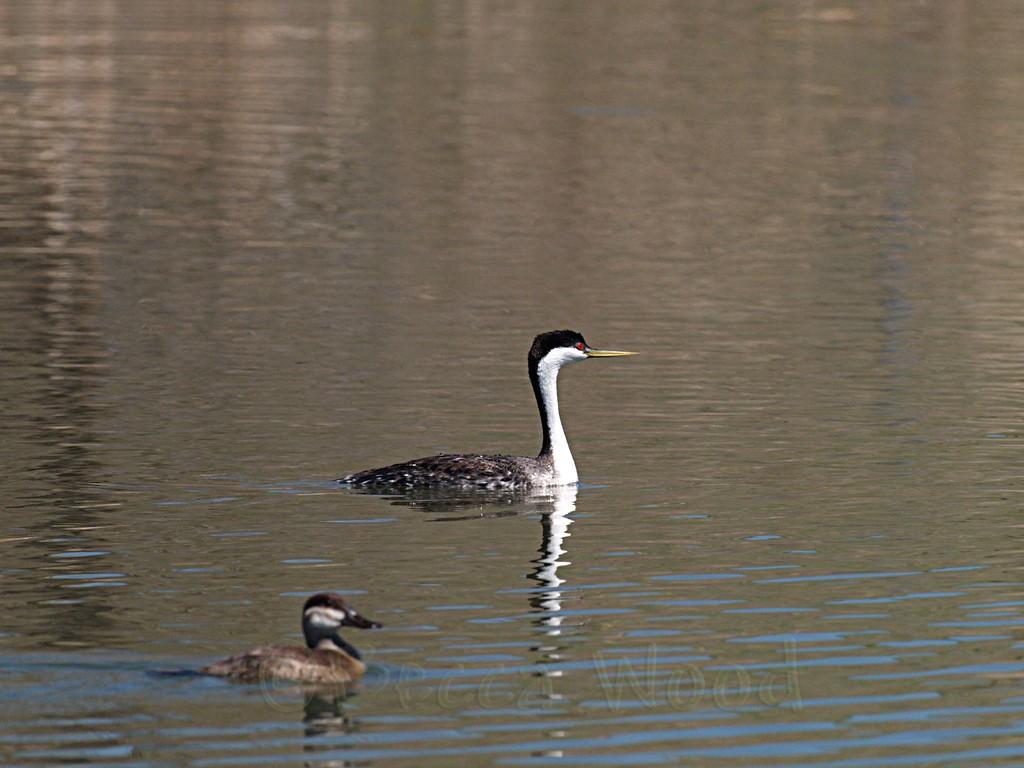 AO 09MY5918<br /> <br /> Western Grebe and Female Ruddy Duck.