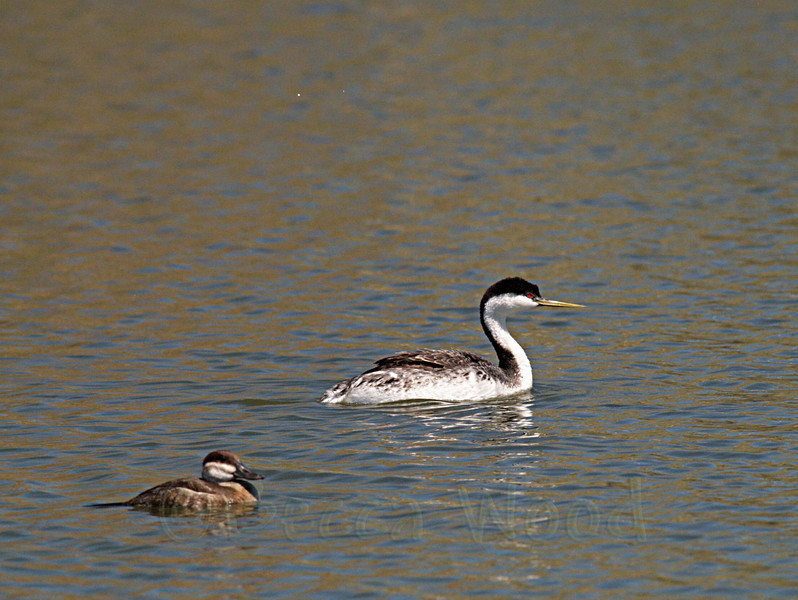 AO 09MY6021<br /> <br /> Western Grebe and Female Ruddy Duck.