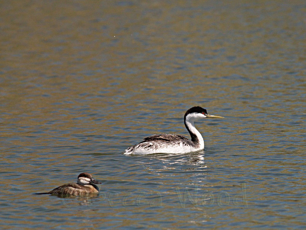 AO 09MY6021<br /> <br /> Western Grebe and Female Ruddy Duck.