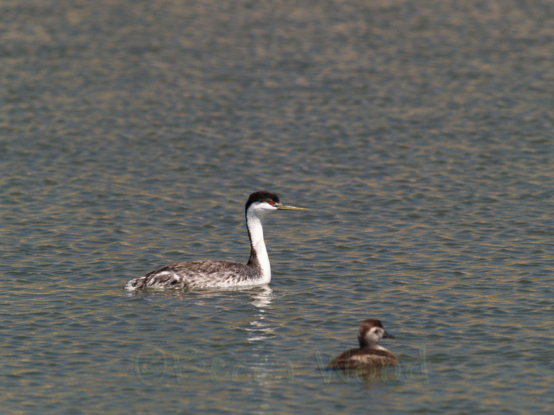 AO 09MY6070<br /> <br /> Western Grebe and Female Ruddy Duck.
