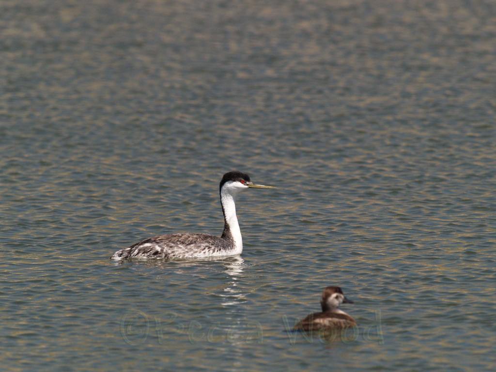 AO 09MY6070<br /> <br /> Western Grebe and Female Ruddy Duck.