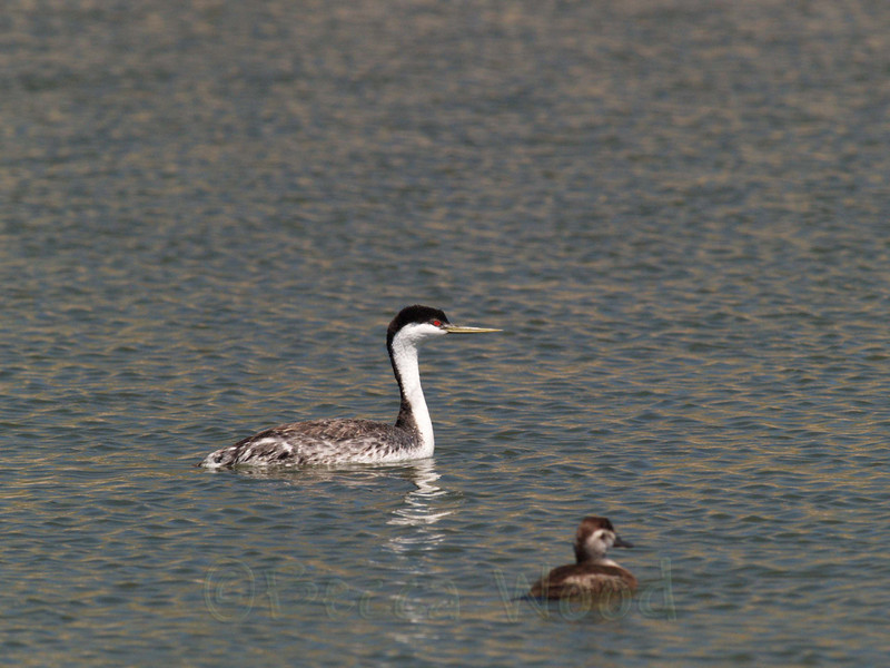 AO 09MY6069<br /> <br /> Western Grebe and Female Ruddy Duck.