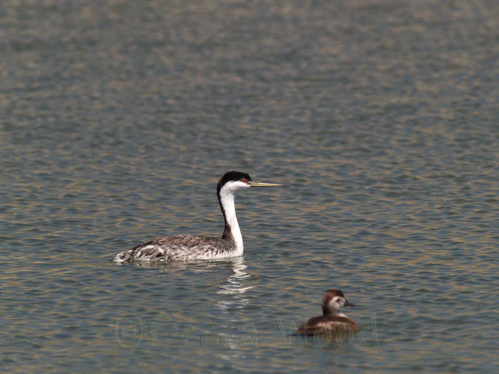 AO 09MY6069<br /> <br /> Western Grebe and Female Ruddy Duck.