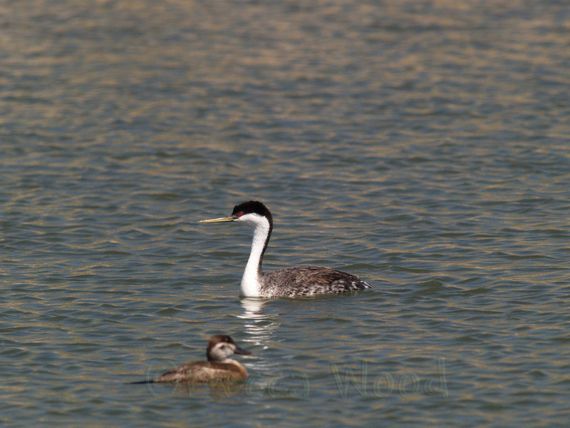 AO 09MY6075<br /> <br /> Western Grebe and female Ruddy Duck.