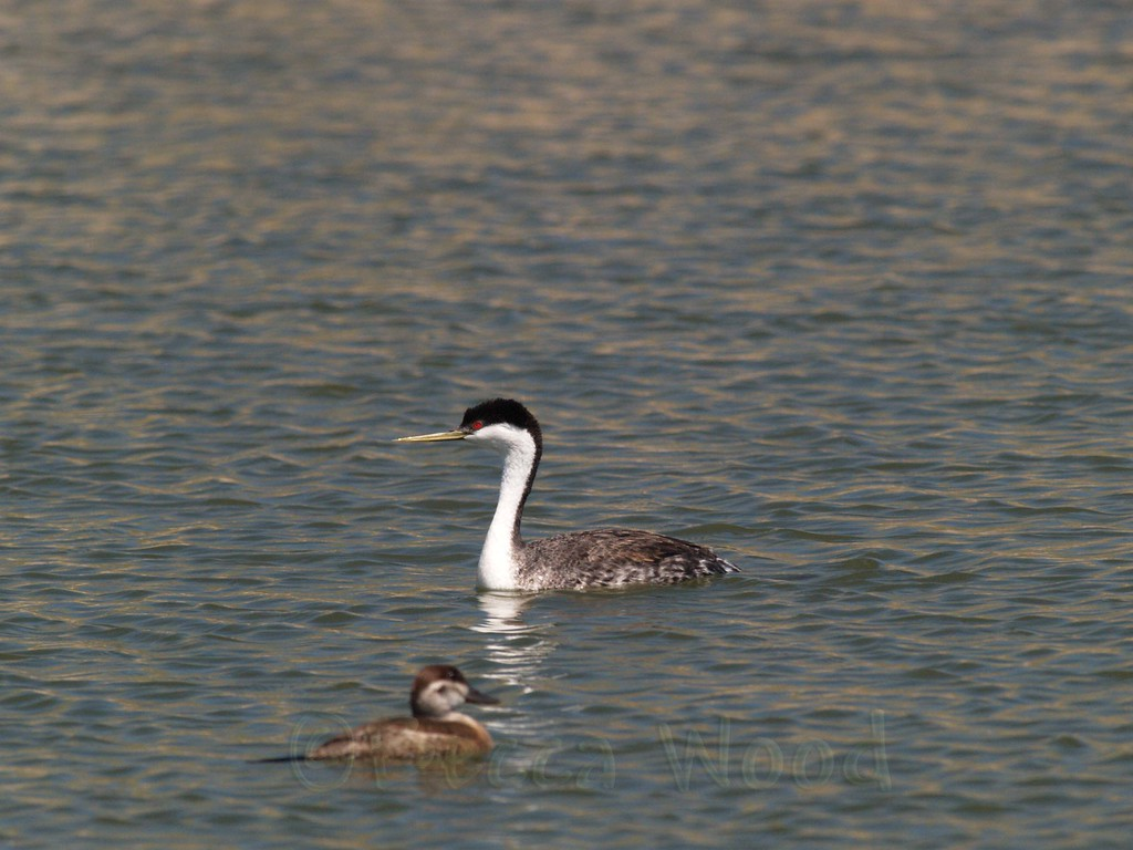 AO 09MY6075<br /> <br /> Western Grebe and female Ruddy Duck.