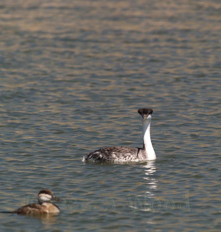 AO 09MY6073<br /> <br /> Western Grebe and Female Ruddy Duck.