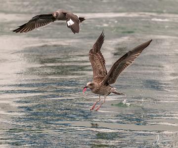Western Gull Juvenile. Heermanns Gull