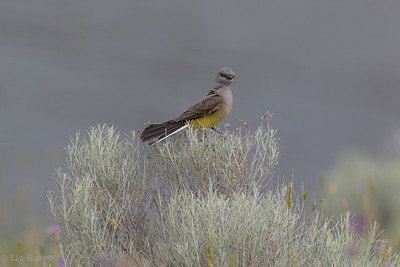 0U2A9362_Western Kingbird