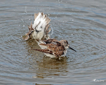 Western Sandpipers Taking a Bath