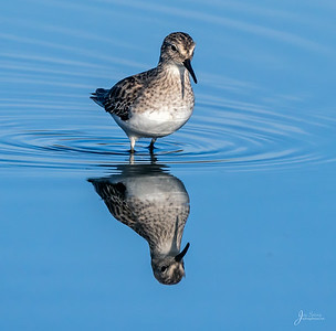 Western Sandpiper Reflection