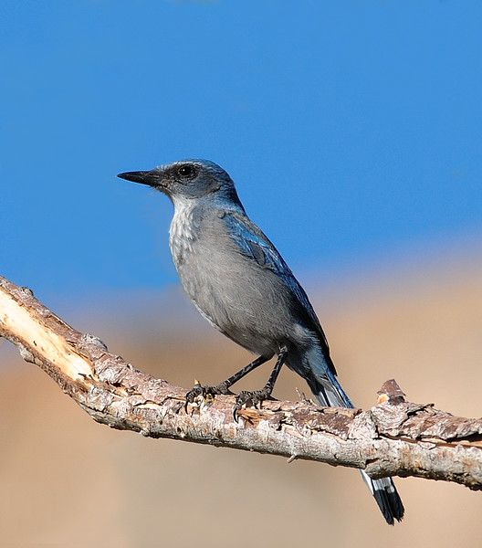 Western Scrub Jay at Coachella Wildlife Preserve