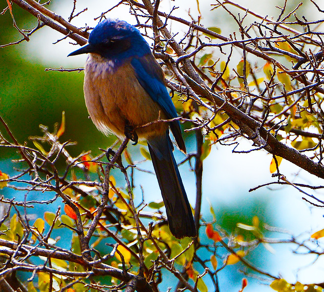 Woodhouse's Scrub Jay (Formerly Western SJ)