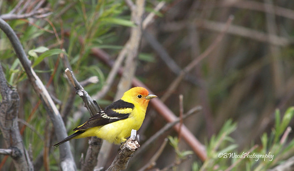 PL 07MY5675 Female Western Tanager